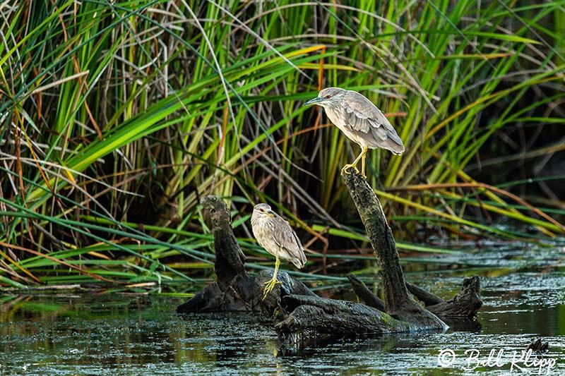 Black Crowned Night Heron, Discovery Bay Photos by Bill Klipp