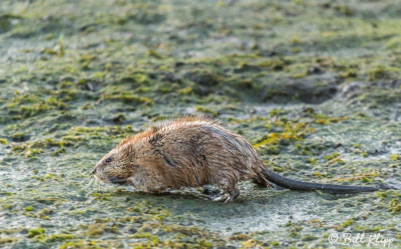 Muskrat, Discovery Bay Photos by Bill Klipp