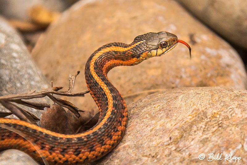 Garter Snake, Discovery Bay Photos by Bill Klipp