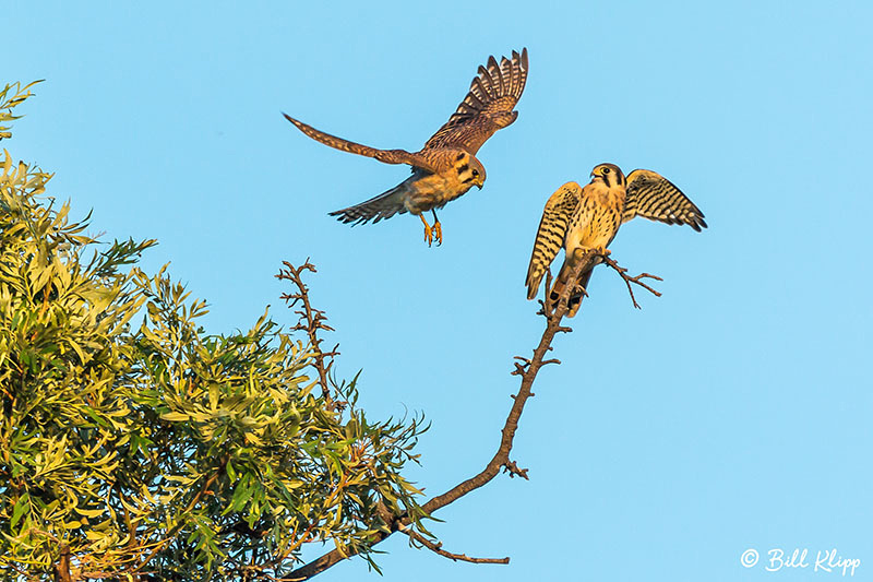 American Kestrel, Discovery Bay, Photos by Bill Klipp