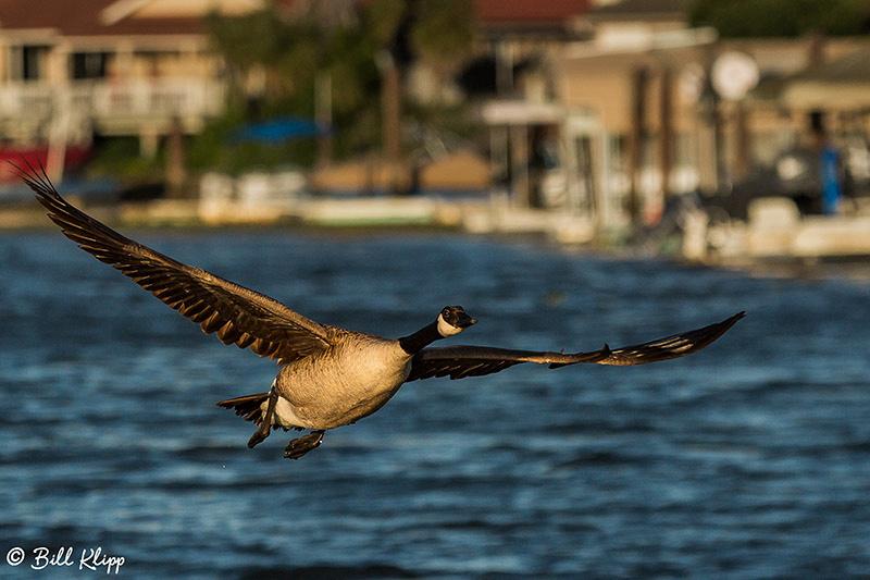 Canada Geese, Discovery Bay Photos by Bill Klipp