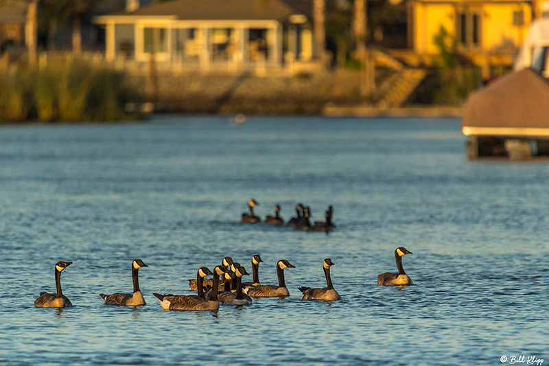 Canada Geese, Discovery Bay Photos by Bill Klipp