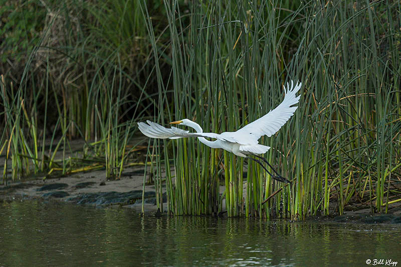 Great Egret, Discovery Bay Photos by Bill Klipp
