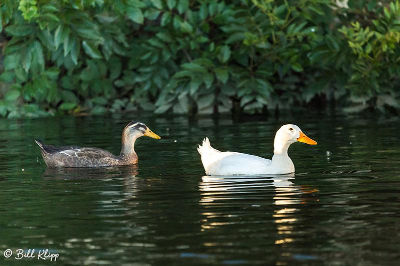 Mallard Ducks, Discovery Bay, Photos by Bill Klipp