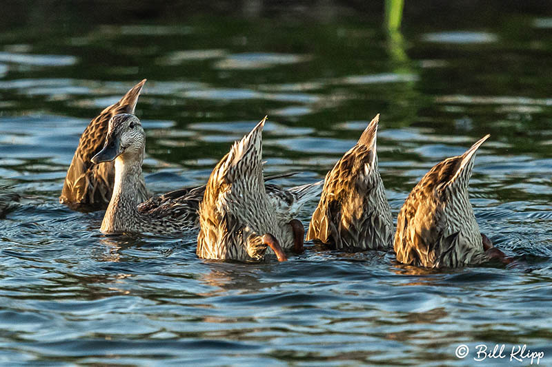 Mallard Ducks, Indian Slough, Discovery Bay Photos by Bill Klipp