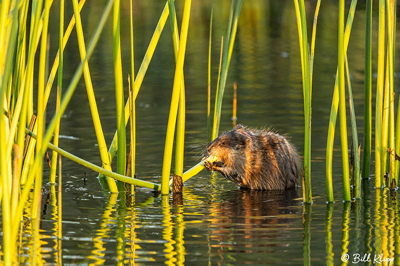 Muskrat, Discovery Bay Photos by Bill Klipp
