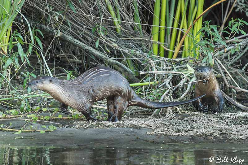 River Otters, Discovery Bay Photos by Bill Klipp
