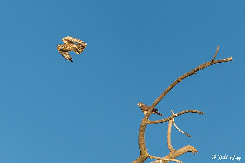 American Kestrel, Discovery Bay, Photos by Bill Klipp