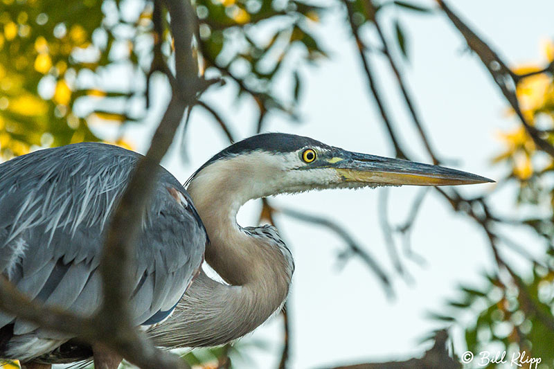 Great Blue Heron, Discovery Bay, Photos by Bill Klipp