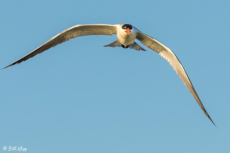 Caspian Tern, Discovery Bay, Photos by Bill Klipp