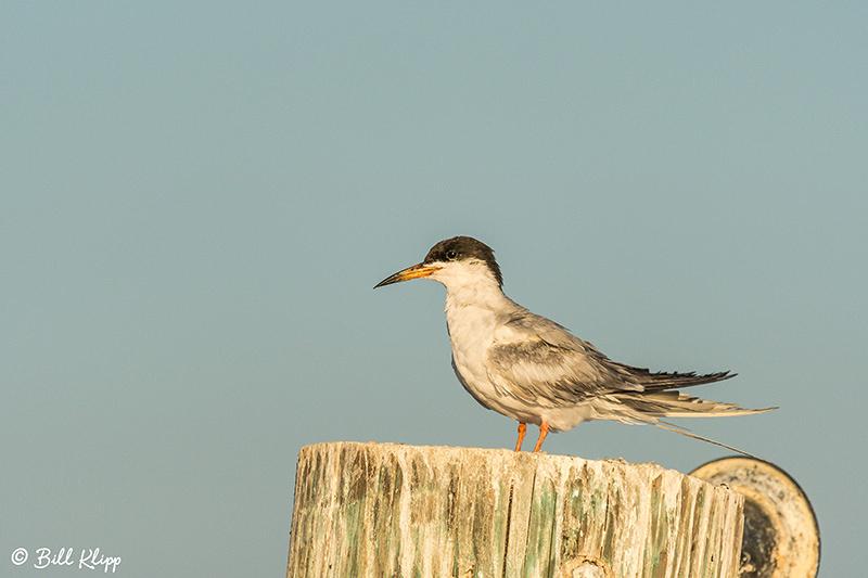 Common Tern, Discovery Bay, Photos by Bill Klipp
