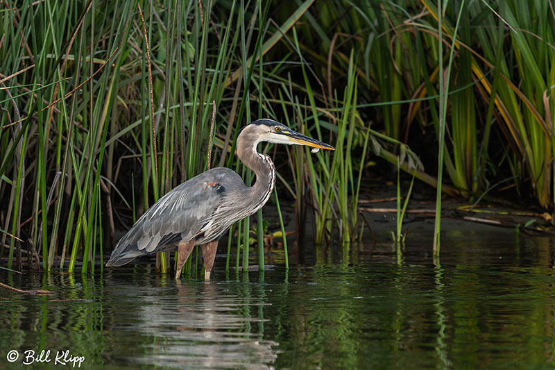 Great Blue Heron, Discovery Bay Photos by Bill Klipp
