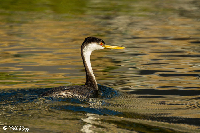Clarks Grebe Discovery Bay Photos by Bill Klipp